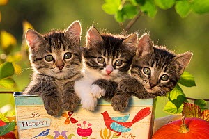 Three kittens (7 weeks) in a box with the text 'Be Happy' , France.  -  Klein & Hubert