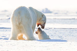 Polar bear (Ursus maritimus) pair playing, with male on pack ice and female in water, Svalbard, Norway, July.  -  Klein & Hubert