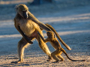 Young baboon (Papio ursinus) begging to be carried, Botswana. - Klein & Hubert