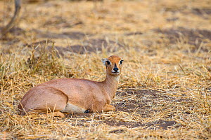 Steenbok (Raphicerus campestris) resting with ears back, Botswana.  -  Klein & Hubert