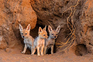 Black-backed jackal (Canis mesomelas) three puppies  at the den, Botswana.  -  Klein & Hubert