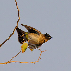 Common bulbul  (Pycnonotus barbatus) taking off, Botswana.  -  Klein & Hubert