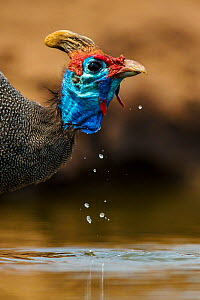 Helmeted guineafowl (Numida meleagris) drinking at waterhole, Botswana. - Klein & Hubert