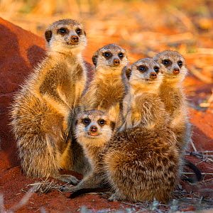 Meerkat (Suricata surricatta) group of five warming up in the sunshine, Kalahari desert, South Africa.  -  Klein & Hubert