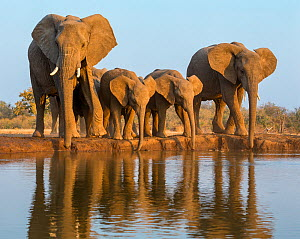 African elephants (Loxodonta africana) with calves drinking at waterhole, Botswana.  -  Klein & Hubert