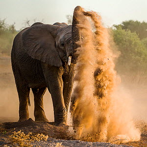 African elephant (Loxodonta africana) taking a dust bath, Chobe National Park, Botswana - Klein & Hubert