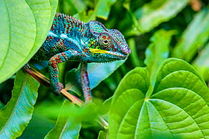 Panther chameleon (Furcifer pardalis) in vegetation. Madagascar. - Klein & Hubert