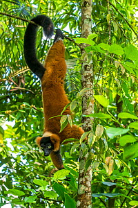 Red-ruffed lemur (Varecia rubra) hanging in a tree with his tail, Madagascar.  -  Klein & Hubert