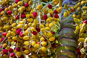 Date palm (Phoenix dactylifera) fruits and trunk, cultivated species.  -  Klein & Hubert