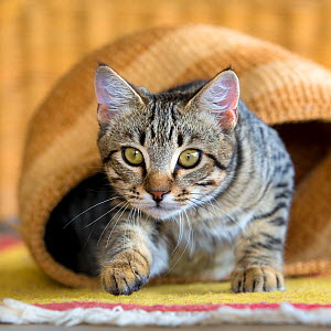 Tabby cat starting to play-hunt from a handwoven basket. - Klein & Hubert