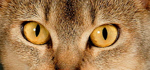 Close up eyes of Abyssinian cat. - Klein & Hubert