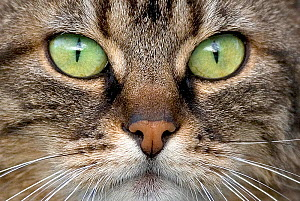 Close up of face and eyes of tabby cat. - Klein & Hubert