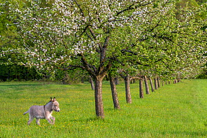 Domestic donkey foal (age two months) running through meadow in spring, with Apple blossoms, France.  -  Klein & Hubert