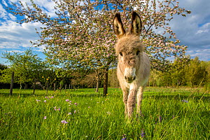 Domestic donkey foal (age two months) in meadow with Apple blossom in the background, France. - Klein & Hubert