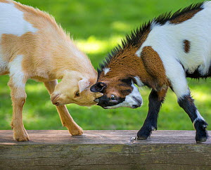 Two pygmy goat kids play fighting, head butting, on a bench, France.  -  Klein & Hubert