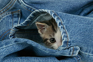 Tabby and white kitten age 7 weeks, hiding in a pair of jeans.  -  Klein & Hubert