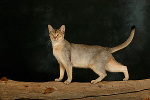 Abyssinian cat, female with silver black colouration against black background. - Klein & Hubert