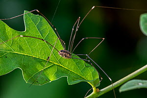 Female Harvestman (Leiobunum rotundum) on leaf in bush, La Brenne, France, June.  -  Philippe Clement