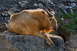 Golden takin (Budorcas taxicolor bedfordi) resting on rocks, captive, native to the Peoples Republic of China and Bhutan. - Philippe Clement