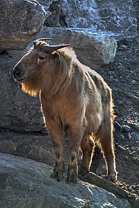 Golden takin (Budorcas taxicolor bedfordi) on rocks, captive, native to the Peoples Republic of China and Bhutan. - Philippe Clement