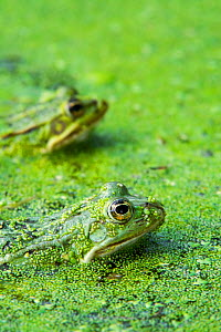Two Edible frogs (Pelophylax esculentus) among duckweed in pond, La Brenne, France, June - Philippe Clement