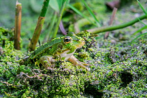 Edible frog (Pelophylax esculentus) sitting among duckweed in pond, Indre, France, June. - Philippe Clement