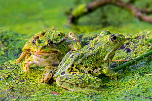 Two Edible frogs (Pelophylax esculentus) among duckweed in pond, La Brenne, Indre, France, June - Philippe Clement