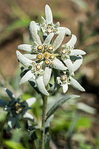 Edelweiss (Leontopodium alpinum) in flower, Alps, Gran Paradiso National Park, Italy, June.  -  Philippe Clement