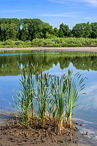 Common bulrush (Typha latifolia) in summer along lake, Belgium, August - Philippe Clement