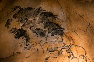 Replica of prehistoric rock paintings of the Chauvet Cave. Replica in Nationalparkzentrum Falkenstein, Bavarian Forest NP,. Showing extinct animals: woolly rhinoceros (Coelodonta antiquitatis), wild h...  -  Philippe Clement