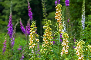 Big-flowered foxglove (Digitalis grandiflora) cultivated plant, native to southern Europe and Asia, June  -  Philippe Clement