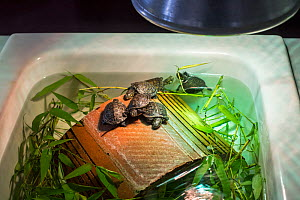 Baby European pond turtles (Emys orbicularis) kept under hot lamp in basin, at breeding program at the Haute Touche Zoological Park, La Brenne, Indre, France, June 2015. - Philippe Clement
