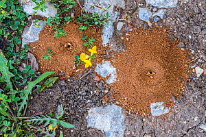 Cone shaped sand pit traps of Antlions (Myrmeleontidae2, La Brenne, Indre, France, June  -  Philippe Clement