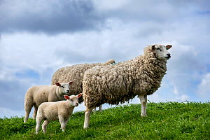 Texel sheep ewes with lambs in meadow, Texel Island, Wadden Sea, the Netherlands, May  -  Philippe Clement