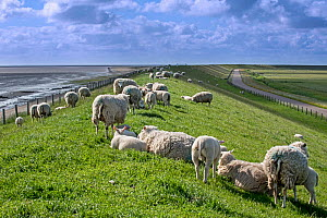 Flock of Texel sheep with lambs grazing on sea dyke, Texel Island, Wadden Sea, the Netherlands, May  -  Philippe Clement
