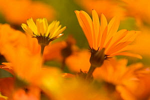 Parachute daisies (Ursinia anthemoides) Little Karoo, Western Cape, South Africa.  -  Tony Phelps