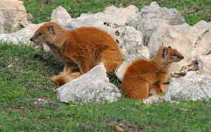 Yellow mongoose (Cynictis penicillata) female with young at den. deHoop Nature Reserve. Western cape, South Africa. - Tony Phelps