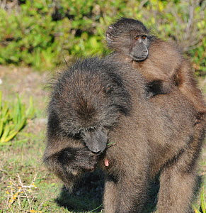 Chacma baboon (Papio ursinus) female feeding with youngster on back. Dehoop Nature Reserve, Western Cape, South Africa - Tony Phelps