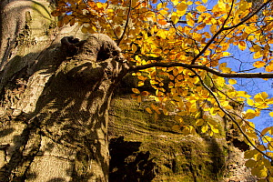 European beech tree (Fagus sylvatica) in autumn, Sachsische Schweiz / Saxon Switzerland National Park, Germany, October. - Dr.  Axel Gebauer