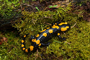 Fire salamander  (Salamandra salamandra) Sachsische Schweiz / Saxon Switzerland National Park, Germany, April. - Dr.  Axel Gebauer
