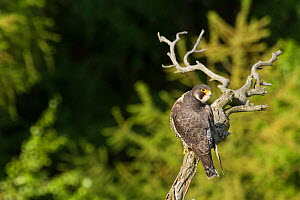 Peregrine falcon (Falco peregrinus), Sachsische Schweiz / Saxon Switzerland National Park, Germany, May. - Dr.  Axel Gebauer