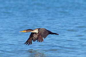 Double-crested cormorant (Phalacrocorax auritus) firs year bird in flight, Fort Myers Beach, Florida, USA, March.  -  Ernie  Janes