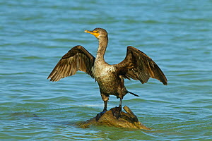Double-crested cormorant (Phalacrocorax auritus) drying wings,  Fort Myers Beach, Florida, USA, March.  -  Ernie  Janes