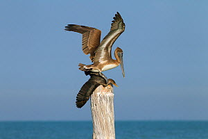 Brown pelican (Pelecanus occidentalis) landing on Cormorant (Phalacrocorax auritus) Gulf Coast, Florida, USA, March.  -  Ernie  Janes