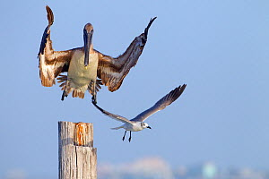 Brown pelican (Pelecanus occidentalis) coming into land on post with Laughing gull (Larus atricilla), Gulf Coast, Florida, USA, March.  -  Ernie  Janes