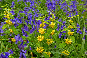 RF- Yellow archangel (Lamiastrum galeobdolon) and Bluebells (Hyacinthoides non-scripta) in flower in woodland, Norfolk, England, UK, May. (This image may be licensed either as rights managed or royalt...  -  Ernie  Janes