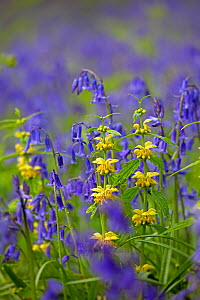 Yellow archangel (Lamiastrum galeobdolon) and Bluebells (Hyacinthoides non-scripta) in flower in woodland, Norfolk, England, UK, May.  -  Ernie  Janes