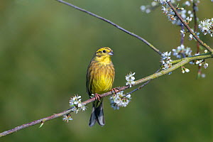 Yellow hammer (Emberiza citrinella) on Blackthorn blossom, Norfolk, England, UK, April. - Ernie  Janes