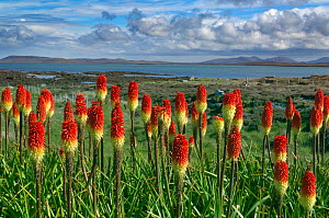 Red-hot pokers (Kniphofia) in garden,  Loch Berneray, Hebrides, Scotland, UK, June.  -  Ernie  Janes
