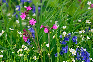 Bluebells (Hyacinthoides non-scripta) Red campion (Silene dioica) Greater stitchwort (Stellaria holostea) growing on field boundary, Norfolk, England, UK, May  -  Ernie  Janes